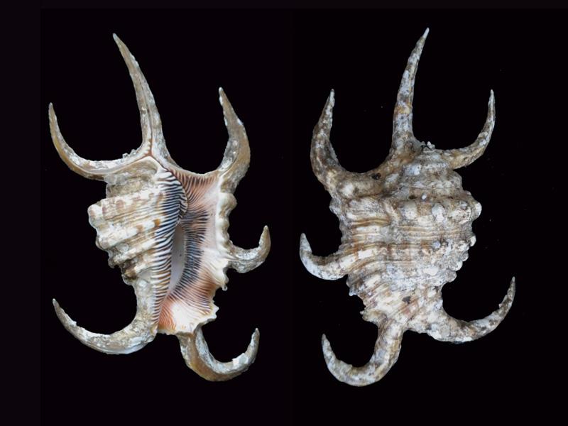 Harpago arthriticus - (Röding, 1798)  Lambis14