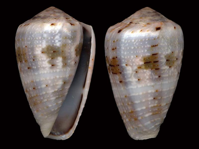 Conus (Virroconus) aristophanes - (G. B. Sowerby II, 1857) M_aris10