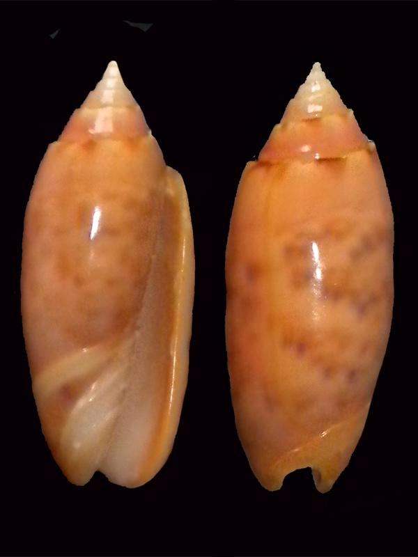 Annulatoliva annulata f. nebulosa. Oliva-10