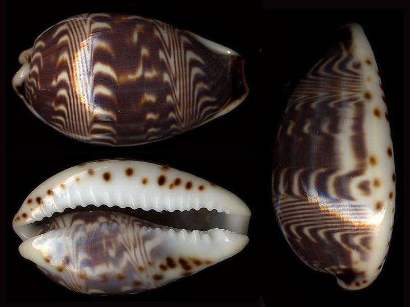 Palmadusta diluculum diluculum - (Reeve, 1845) Palmad10