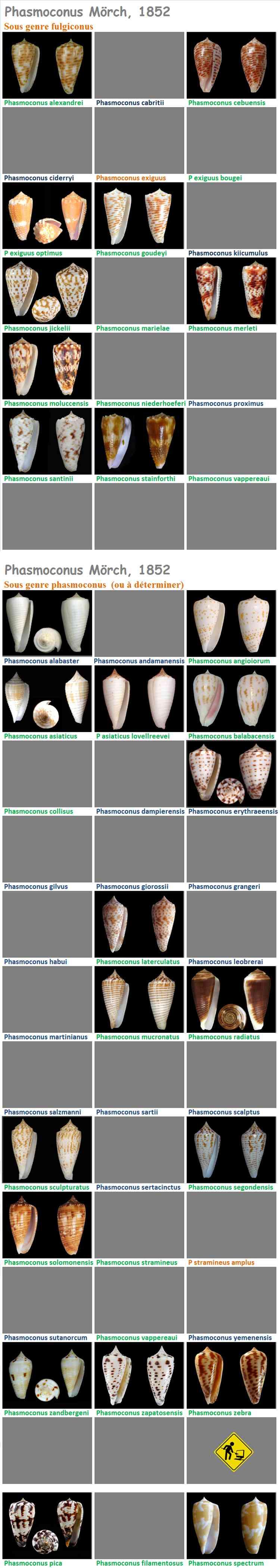 Conidae Conus (Phasmoconus) - Le genre, ses espèces, la planche Phasmo11