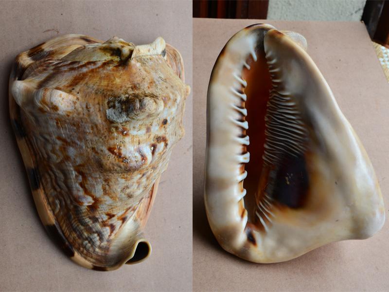 Ils sont pareils ou pas  ... N° 01  (voir le même titre N°02 et N° 03) = Cassis cornuta et tuberosa Stromb13