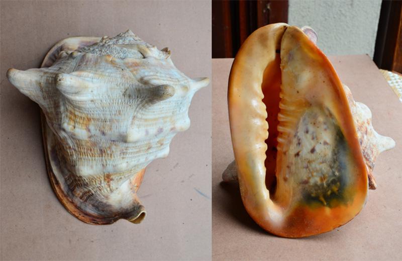 Ils sont pareils ou pas  ... N° 01  (voir le même titre N°02 et N° 03) = Cassis cornuta et tuberosa Stromb14
