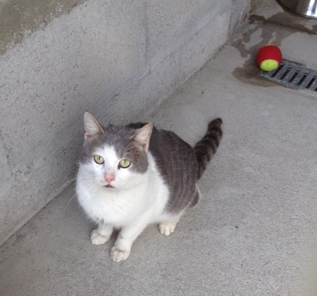 EXTRÊME URGENCE euthanasie fourrière le 27 février pour un chat (Bretagne) Fullsi12
