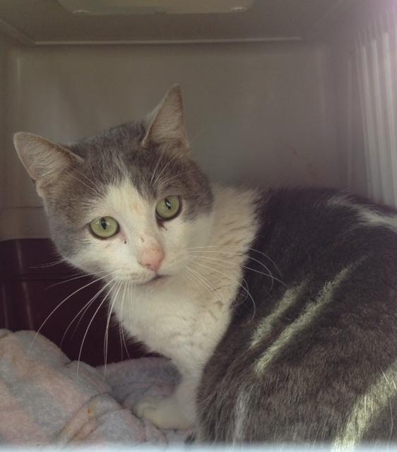 EXTRÊME URGENCE euthanasie fourrière le 27 février pour un chat (Bretagne) Fullsi13