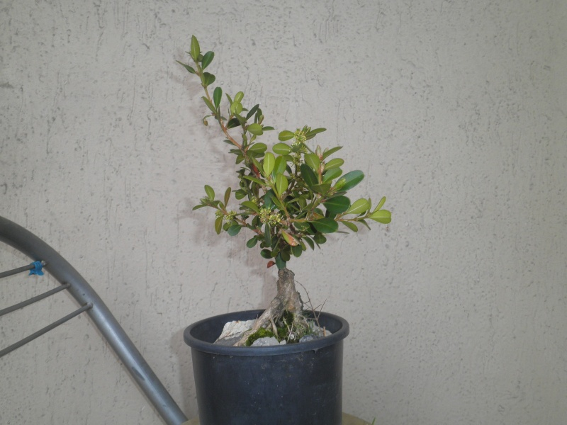 pianta di bosso - Pagina 2 P3010421