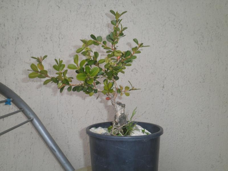 pianta di bosso - Pagina 2 P3010422