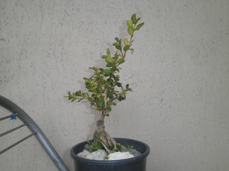 pianta di bosso - Pagina 2 P3010423