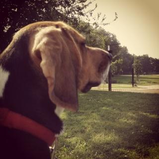 Besoin de votre aide pour Ioko, femelle beagle de deux ans - Page 2 Ioko110