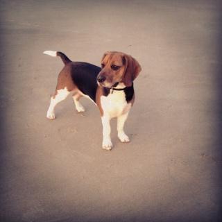 Besoin de votre aide pour Ioko, femelle beagle de deux ans - Page 2 Ioko310