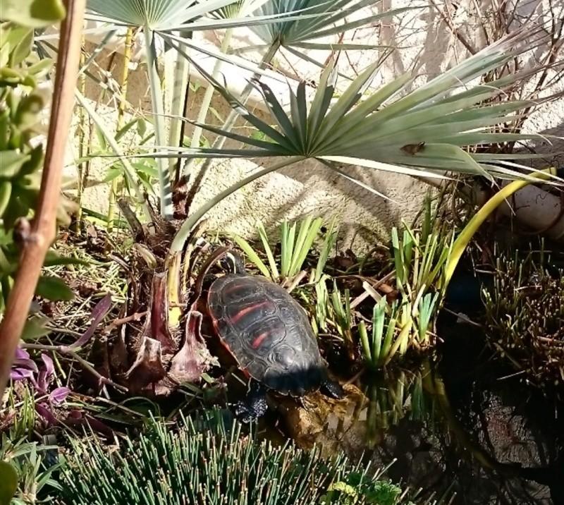 1er bain de soleil sortie d'hivernation officielle ;) pour ma pseudemys nelsoni E10