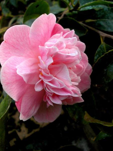 Camellia !!! - Page 7 Dscn0021