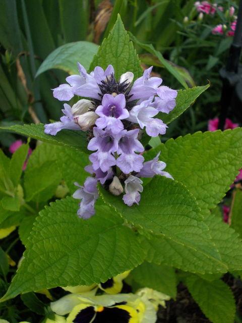 dans mon jardin /// nepeta subsessilis sweet dreams Dscn0610