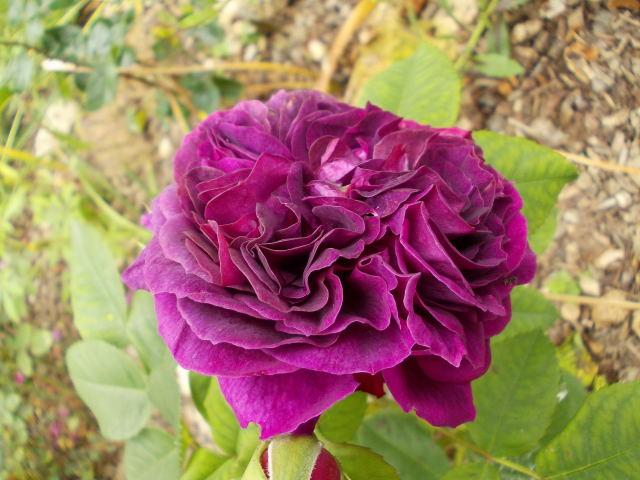 Rosa Purple Lodge  - Page 3 Dscn8814
