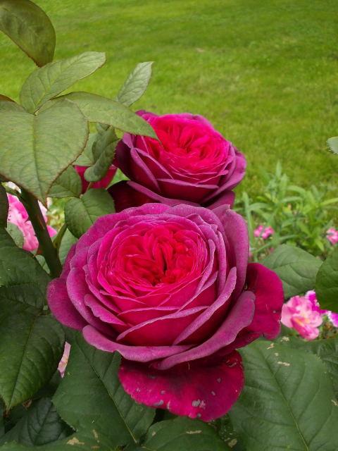 Rosa Parfum de Honfleur  Dscn8815