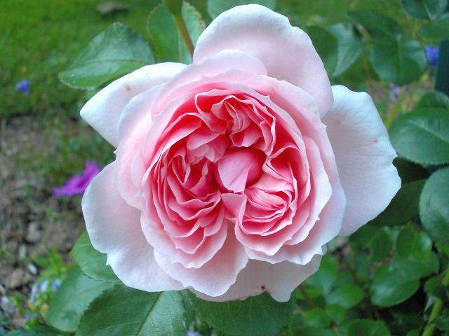 Rosa La Giralda  Dscn9414