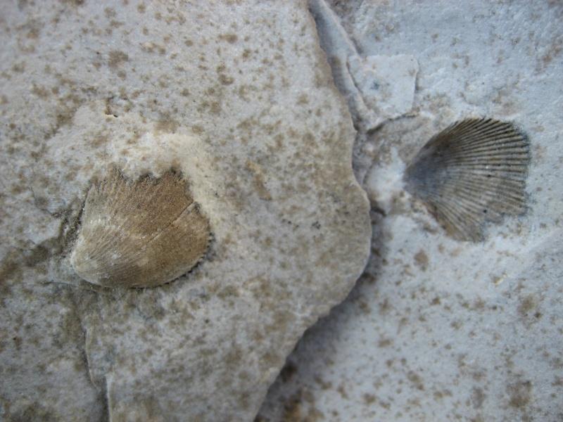 fossiles du Turonien (Crétacé supérieur) Saint Denis 00411