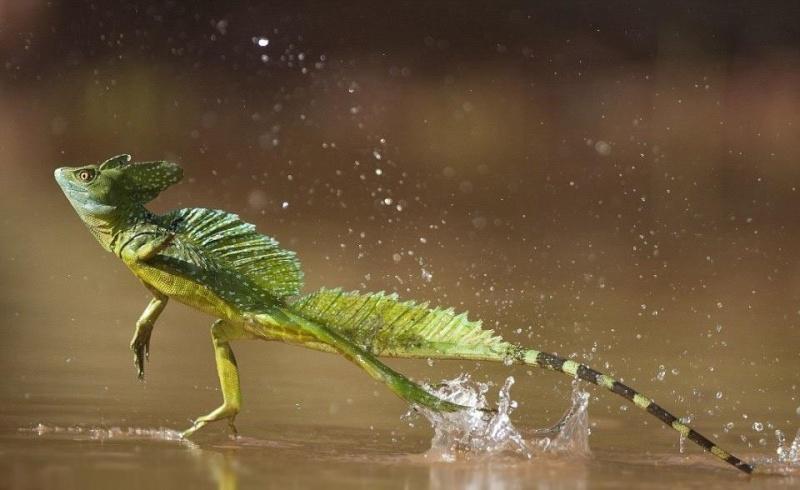 Jesus christ lizard  Image10