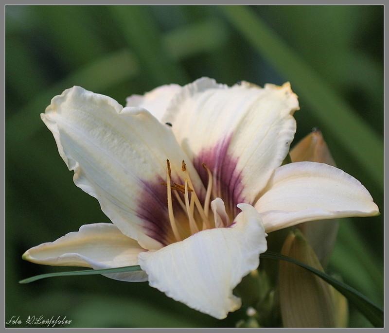Hemerocallis - Taglilien - Schönheiten im Juni und Juli Wasser13