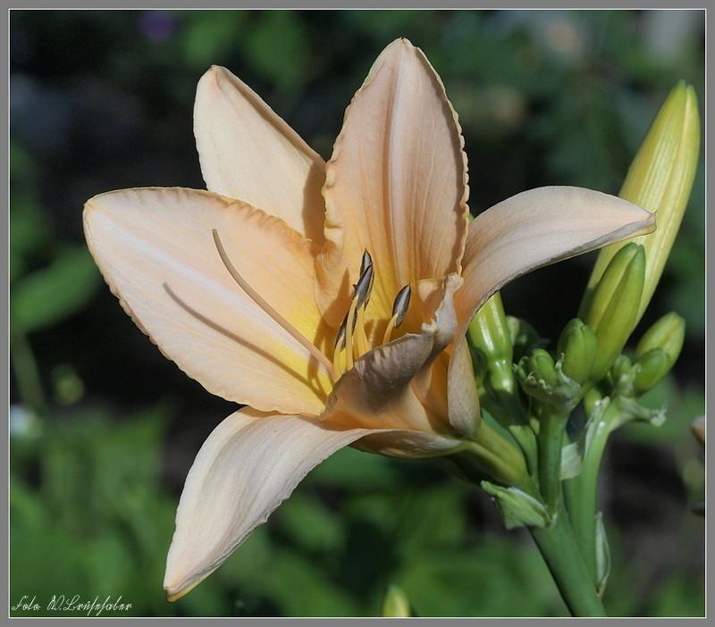 Hemerocallis - Taglilien - Schönheiten im Juni und Juli Wasser21