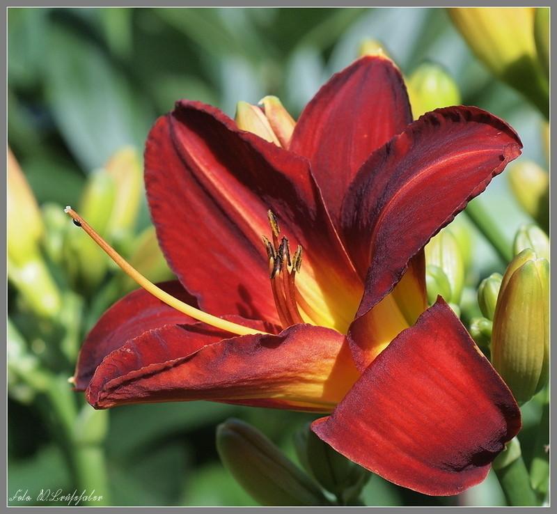 Hemerocallis - Taglilien - Schönheiten im Juni und Juli - Seite 2 Wasser22