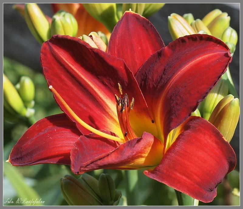 Hemerocallis - Taglilien - Schönheiten im Juni und Juli - Seite 2 Wasser23