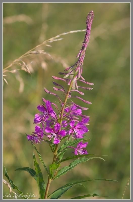 Wildblumen ( Sammelthread) - Seite 4 Wasser26