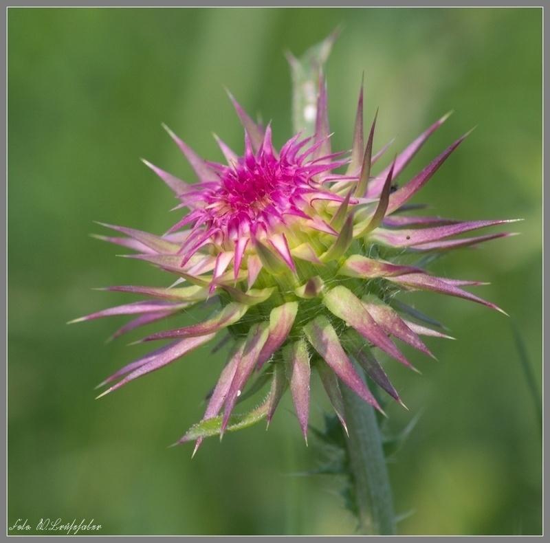 Wildblumen ( Sammelthread) - Seite 4 Wasser29