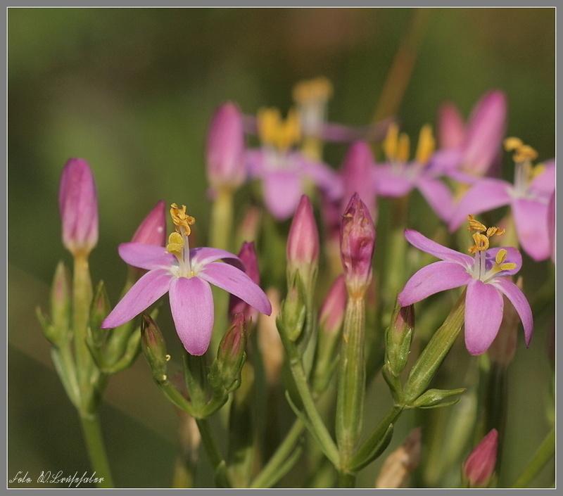 Wildblumen ( Sammelthread) - Seite 4 Wasser31