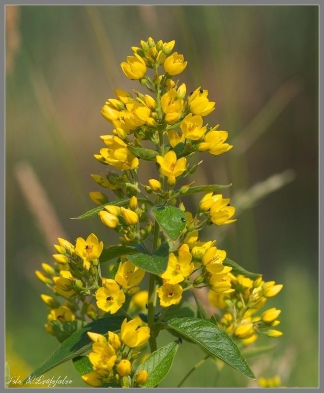 Wildblumen ( Sammelthread) - Seite 4 Wasser32