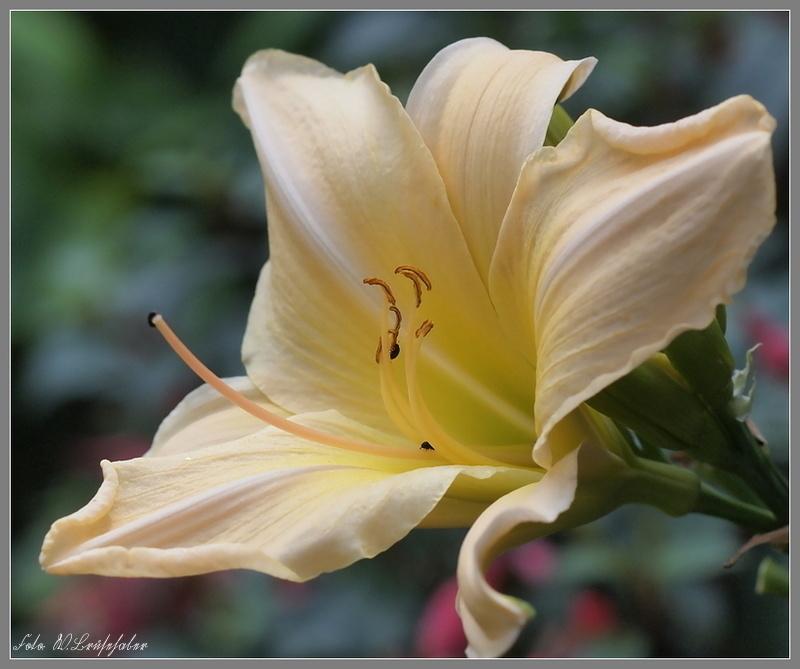 Hemerocallis - Taglilien - Schönheiten im Juni und Juli - Seite 2 Wasser42