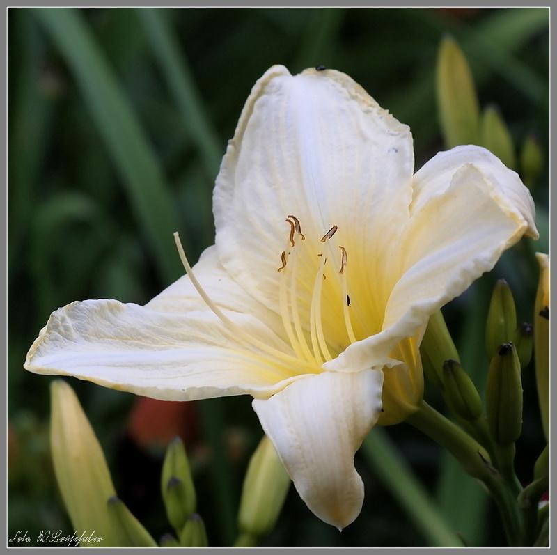 Hemerocallis - Taglilien - Schönheiten im Juni und Juli - Seite 2 Wasser46