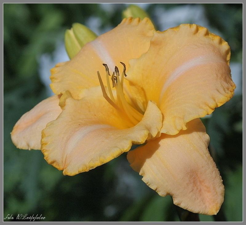 Hemerocallis - Taglilien - Schönheiten im Juni und Juli - Seite 3 Wasser64