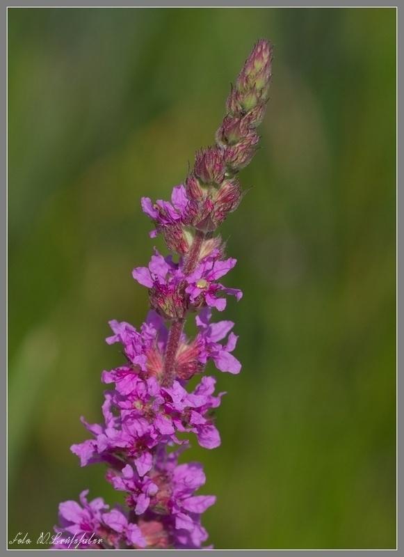 Wildblumen ( Sammelthread) - Seite 4 Wasser74