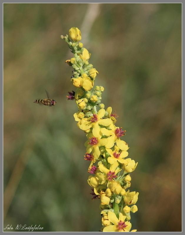 Wildblumen ( Sammelthread) - Seite 4 Wasser76