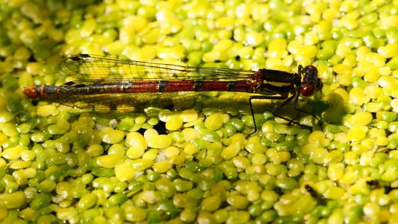 Pyrrosoma nymphula Dsc02011