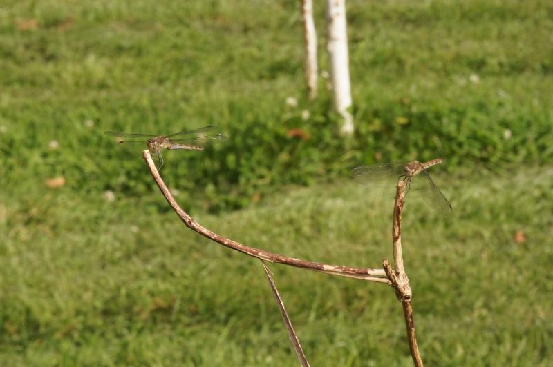 Sympetrum striolatum Fig110