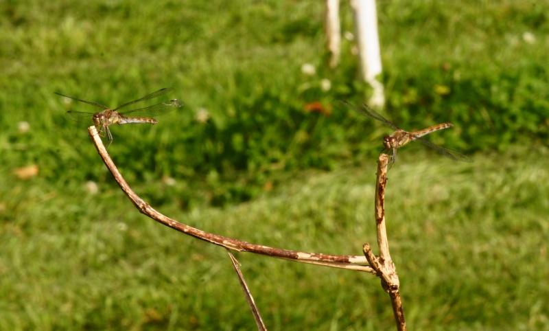 Sympetrum striolatum Fig410