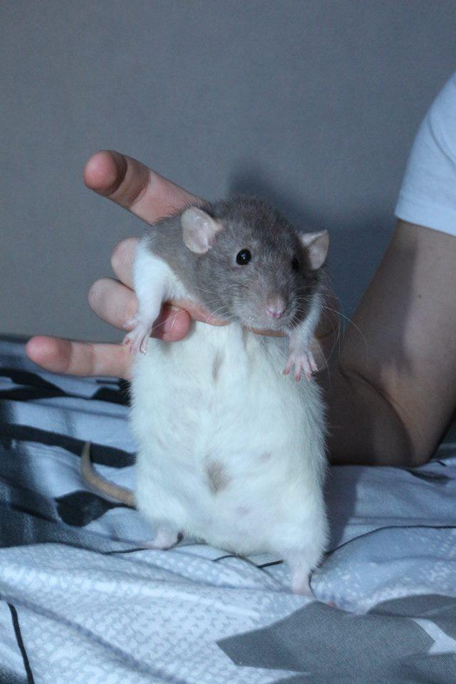 Couleur des ratons 10996610