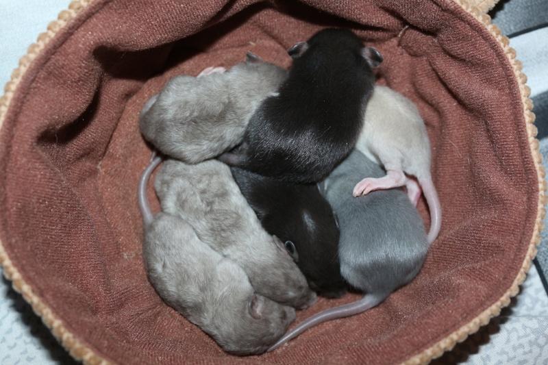 Couleur des ratons Img_5010
