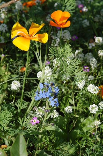 Eschscholzia californica - pavot de Californie 412