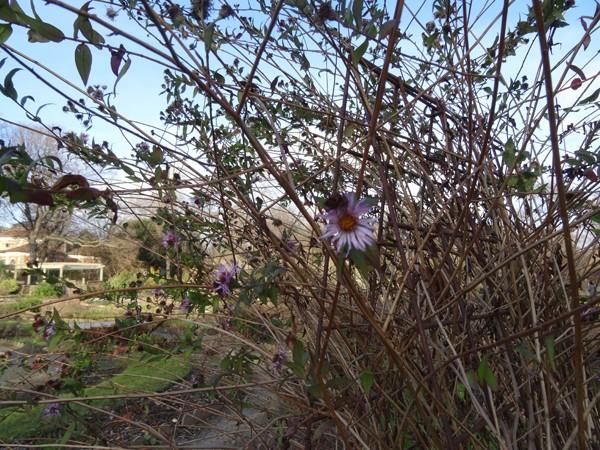 Ampelaster carolinianus Ampela10