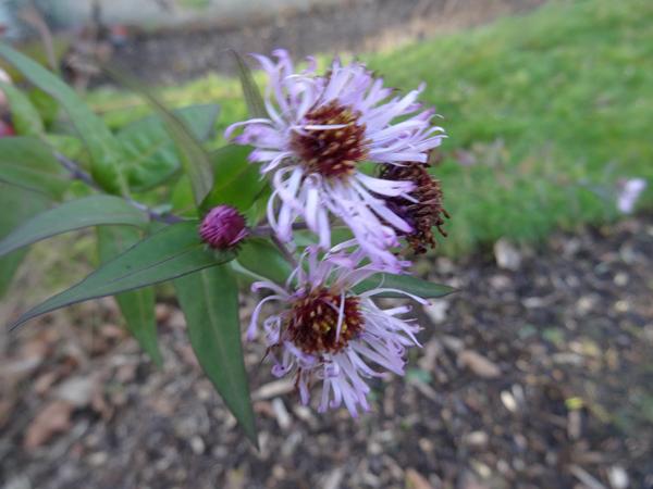 Ampelaster carolinianus Ampela11