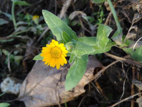 Calendula arvensis - souci des champs Calend10