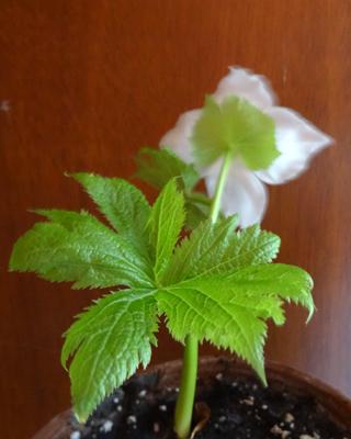 Glaucidium palmatum Glauci12