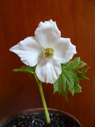 Glaucidium palmatum Glauci13
