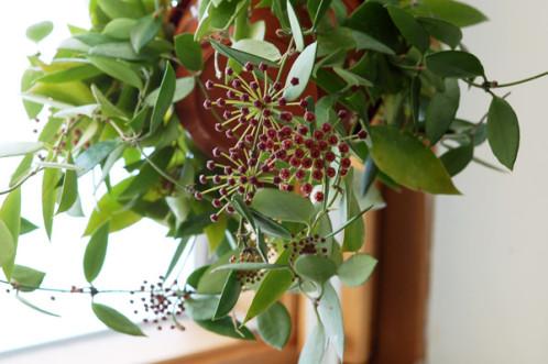 Hoya memoria (= Hoya gracilis) Gracil10