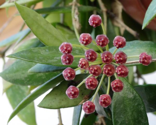 Hoya memoria (= Hoya gracilis) Hoya_m10
