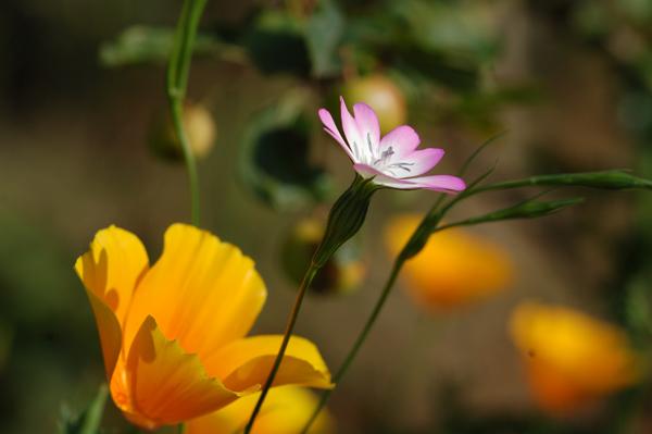 Eschscholzia californica - pavot de Californie Inconn18