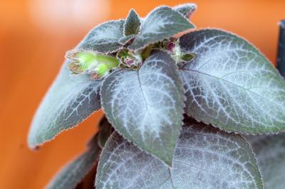 Kohleria - genre, espèces et variétés Kohler10